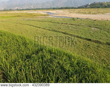 Rice Growing On The Bank Of River Swat
