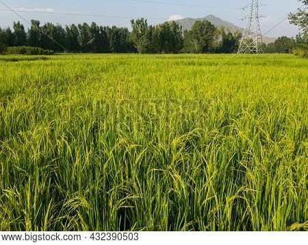 Rice Farming In The Village Of Shamozai Swat Pakistan