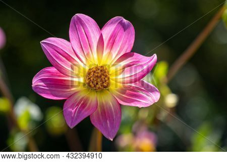 A Large Flower With Pink Petals And A Yellow Center On A Blurry Background.