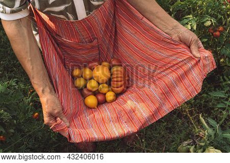 Elderly Woman Arms Hold Organic Ripe Yellow Tomatoes In Red Striped Apron. Authentic Rural Life. Wri