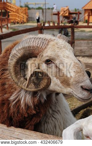 Curved Horn Of Big Ram With Long Brown Fur Posing And Looking Into Camera. Countryside Farming Breed