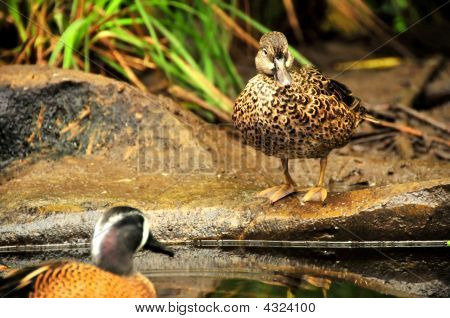 A female blue winged teal (anas discors) waits on the bank for her mate to turn up. poster