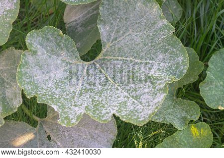 Plant Disease Powdery Mildew, Oidium On Pumpkin Leaves In Autumn, The Leaves Of The Vegetable Plant