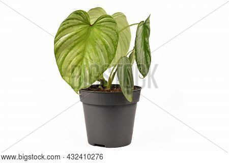 Exotic Houseplant With Botanic Name 'philodendron Mamei Silver Cloud'  With With Silver Pattern In F