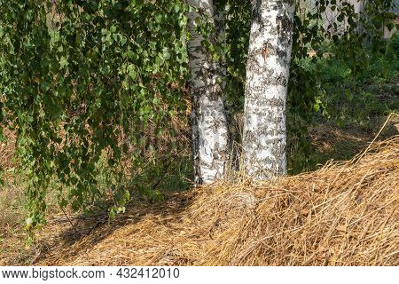 Three White Birch Trunks On A Background Of Green Leaves And Hay.