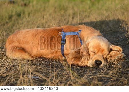 The Cocker Spaniel Lies Tired On The Grass And Sleeps