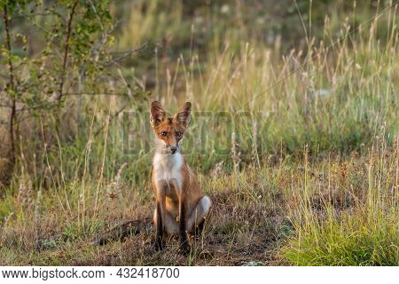Red Fox Young Pup Is Sitting On A Grass Looking. Vulpes Vulpes. In The Wild.