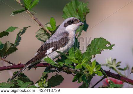 Lesser Grey Shrike, Lanius Minor. In The Wild. Bird Young.