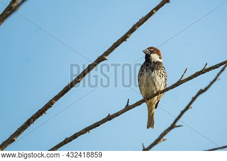 Spanish Sparrow, Passer Hispaniolensis, Single Male Perched On Branch. In The Wild.