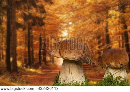Two Porcini Mushroom (boletus Edulis), Also Known As Spruce Porcini Mushroom, Gentlemen's Mushroom O