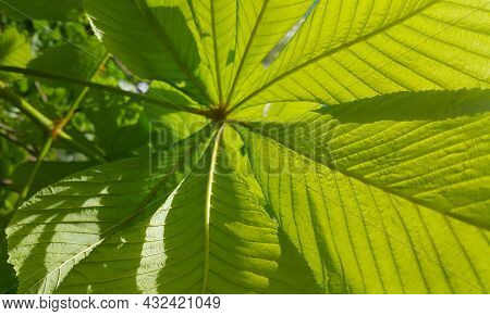 Branch Of Chestnut Tree With Fresh Green Leaves, Close-up