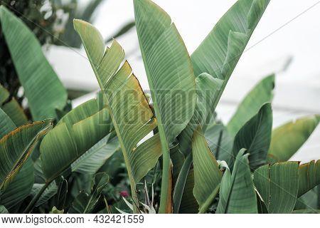 Strelitzia Retinae Foliage, Bird Of Paradise Foliage Tropical Leaf Texture In Garden