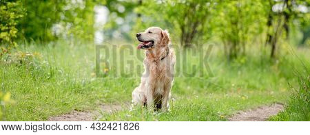 Adorable golden retriever dog sitting outdoors in green grass at the nature in summer time and looking back. Beautiful portrait of doggy pet during walk in park