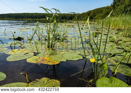 Yellow Water Lily On A Large Forest Lake On A Summer Day, Russia.