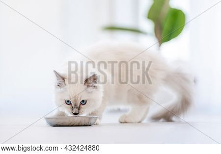 Lovely fluffy white ragdoll cat eating feed from bowl in light room and looking at camera with beautiful eyes. Beautiful purebred feline pet outdoors with food