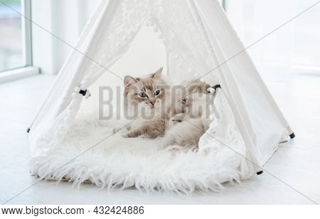 Ragdol cat mother with beautiful blue eyes lying with her sleeping kittens inside white curtain tent on fur close to window. Adorable purebred feline family with kitty