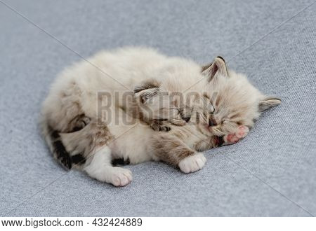 Two adorable little fluffy ragdoll kittens sleeping together on light blue fabric during newborn style photoshoot in studio. Cute sweet napping kitty cats portrait