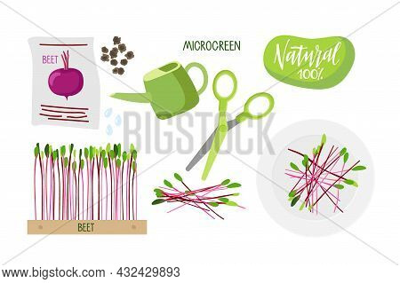 Microgreen For Salad. Seeds Pack, Beet Seeds For Planting, Fresh Little Plants In Wooden Box, Wateri