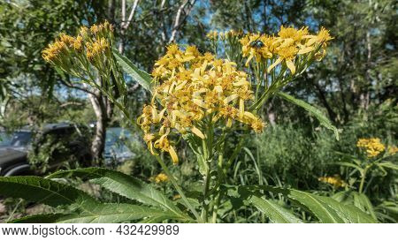 Senecio Sarracenicus Close-up. A Herbaceous Plant On A Long Stem With Many Bright Yellow Flowers. A