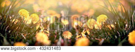 Flowering Dandelion Flower In Meadow, Beautiful Nature, Field Of Blooming Dandelions