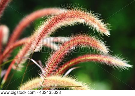 Amazing View Of Pennisetum Feather(fountain Grass,pennisetum Setaceum),close-up Of Brown With Yellow