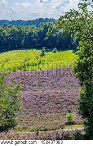 Dutch Countryside With Heather With Purple Flowers, Wild Green Grass With Trees In The Background, S