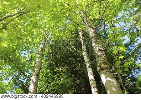Aspen Tree Tops ,green Leaves In A Summer Forest Against The Sky