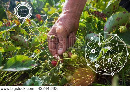 Close-up Female Hand Collects Ripe Strawberries From The Garden Garden On A Sunny Day. Harvesting He