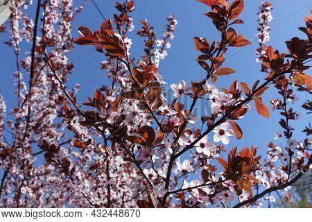 Blooming Branches Of Purple Leaved Prunus Pissardii Against Blue Sky In April