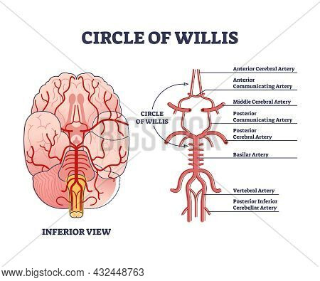 Circle Of Willis Circulatory Anastomosis With Blood Stream In Brain Outline Diagram. Artery And Aort