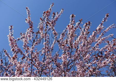 Branches Of Blossoming Purple Leaved Prunus Pissardii Against Blue Sky In April