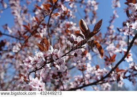 Buds And Flowers Of Purple Leaved Prunus Pissardii In April