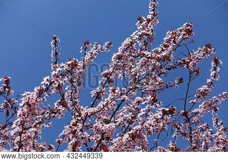 Clear Blue Sky And Branches Of Blossoming Purple Leaved Prunus Pissardii In April