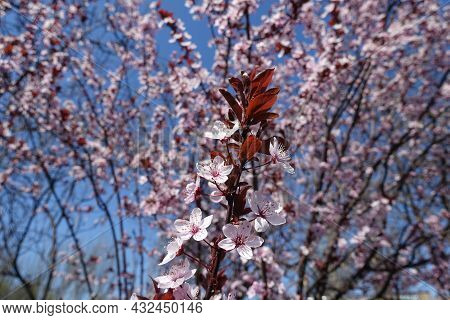 Erect Branch Of Blossoming Purple Leaved Prunus Pissardii In April