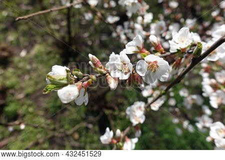 Close View Of Branch Of Blossoming Prunus Tomentosa In March