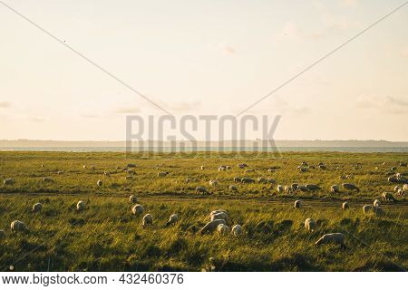 Agriculture, Farming And Livestock In North France Bretagne Region. Flock Of Sheep Graze In Field On