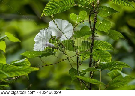A Pair Of Bright White Morning Glory Flowers In Bloom On A Vine Wrapped Around A Stick Climbing Upwa