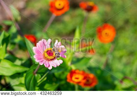 A Hawk Moth Pollinates A Zinnia Flower In The Garden In Summer.