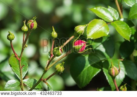 Beautiful Red Garden Rose Flower On A Green Blurred Background