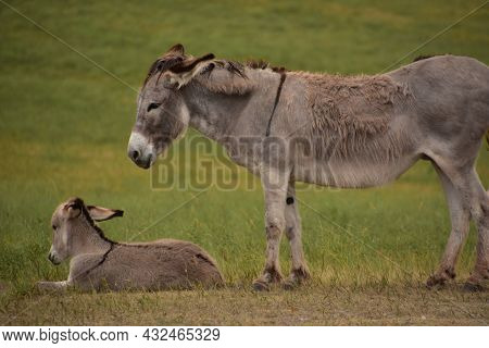 Beautiful Mare And Colt Burros Resting In A Large Field.