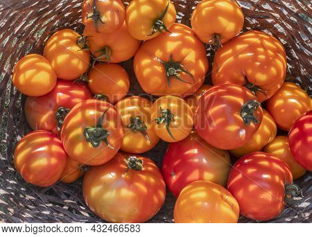 Fresh Organic Tomatoes In Wicker Basket Closeup, Top View. Harvest In Summer Daylight.