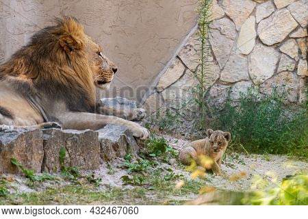 A Couple Of Southern African Lion, Panthera Leo, Rests On The Rocks With Her Baby