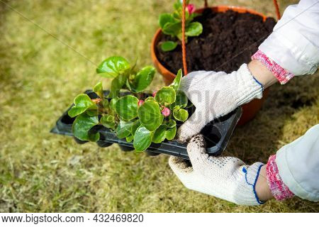 Gardener N Household Gloves Planting A Flower In From Blisters To A Pot Sunny Day, Faceless Close Up