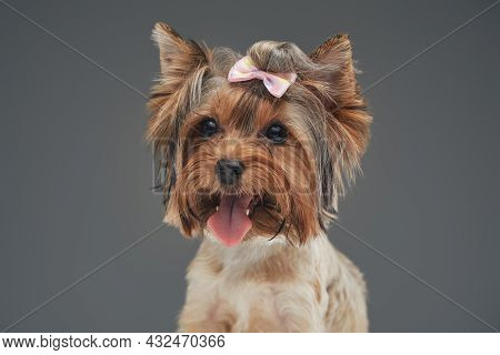 Headshot Of Yorkshire Terrier Doggy Against Gray Background