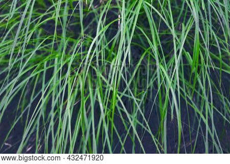 Young Green Grass In Spring Close-up. Fresh Green Grass Close Up Nature Background.