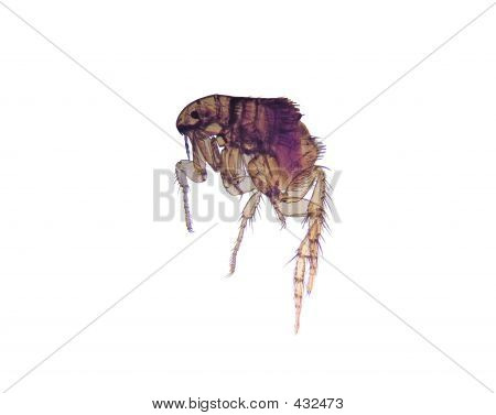 Microscope - Flea (Ctenocephalides)
