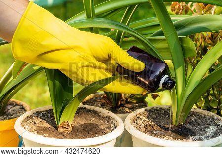 The Houseplant Caretaker Applies Liquid Fertilizer To The Soil. Houseplant Care Concept. Prevention