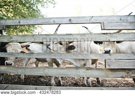 Group Of Cows Behind Wooden Fence On Farm Pasture Fields In The Countryside. Cows On A Farm Behind A