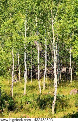 Aspen Trees With White Bark And Lush Green Deciduous Leaves Taken At An Alpine Forest Besides A Gree