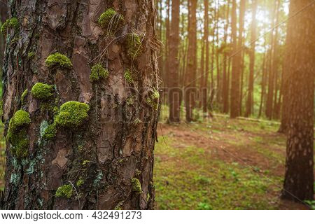 Green Tree Trunk And Moss,called Hard-fern Or Deer Fern In The Early Spring Pine Forest Nature Trail